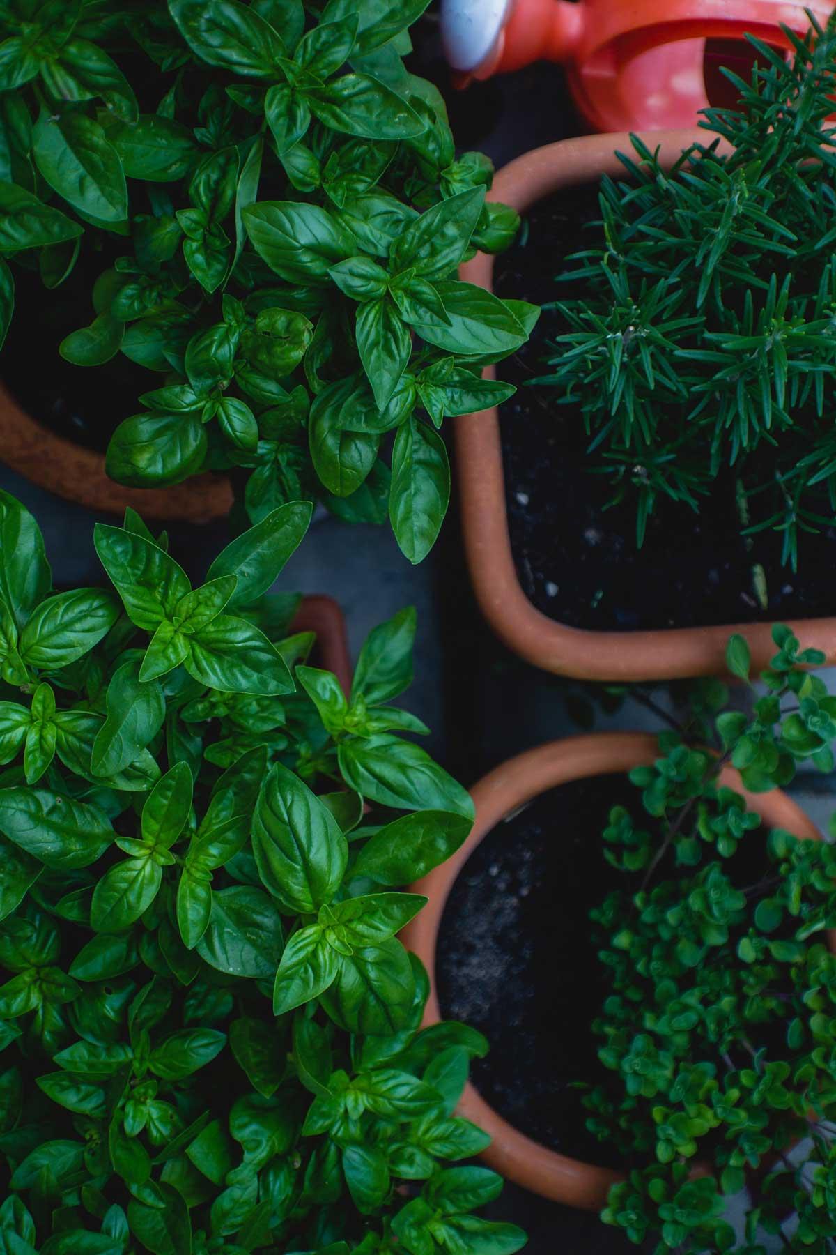 Planter Herbes Aromatiques Jardiniere les 5 plantes aromatiques à avoir à portée de main - rv vous