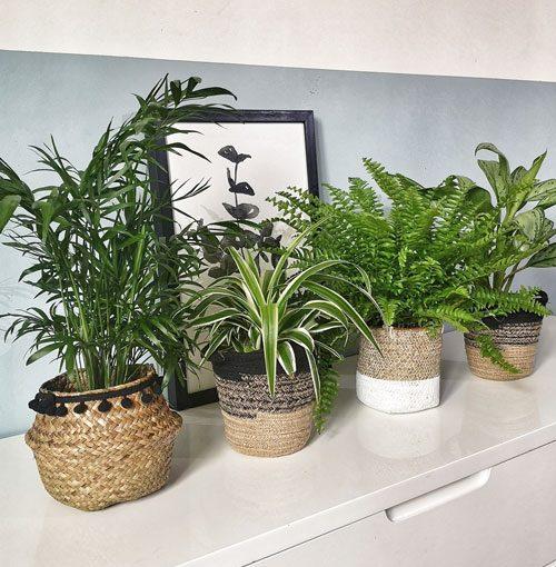 aglaonema plante dépolluante