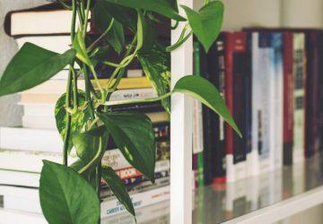 Comment entretenir un scindapsus, plante liane et dépolluante ?