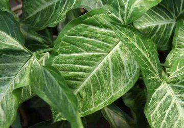 Syngonium plante dépolluante