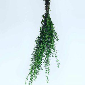 feuilles d'origan séchées