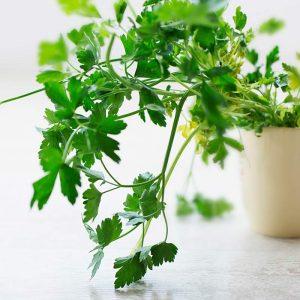 Herbe aromatique à cultiver au balcon, le persil plat est connu pour ses propriétés medicinales