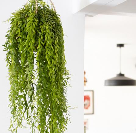 Tous nos conseils d'entretien, d'arrosage et de culture de l'aeschynanthus japhrolepis