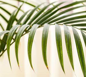 Comment entretenir son palmier d'intérieur ?