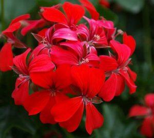 conseils, arrosage, taille, hivernage du geranium au balcon