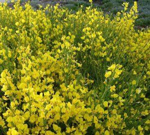 arrosage, entretien et culture du genet cytisus
