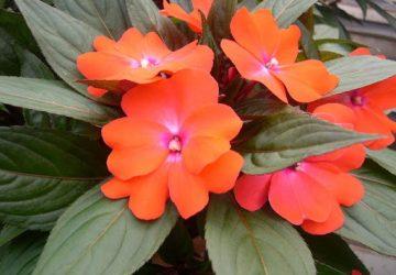 Comment prendre soin des impatiens, fleurs annuelles ?