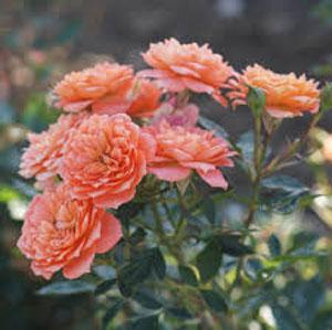 Entretien rosier miniature