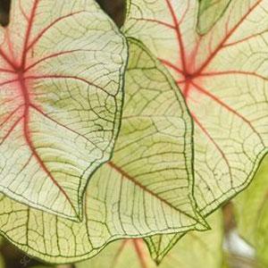 Conseils d'entretien et d'arrosage du caladium florida