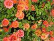 Arrosage, taille, entretien du rosier miniature