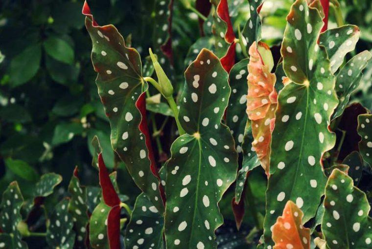 Comment prendre soin du begonia maculata ou tamaya