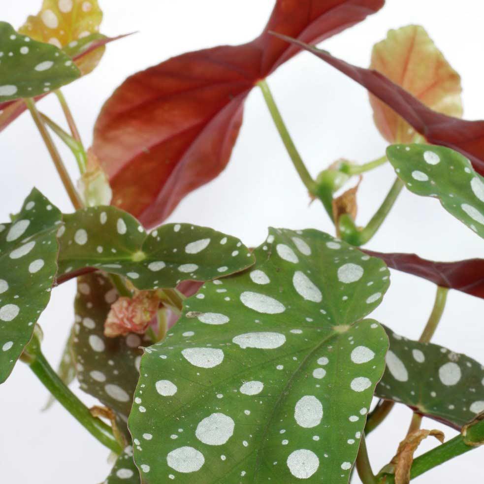 Arrosage, bouturage, conseils d'entretien du begonia maculata
