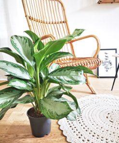 Agalaonema, plante verte d'interieur dépolluante