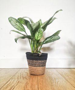 Aglaonema, lot de 2 plantes dépolluantes pour bureau