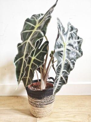 Zoom sur la plante Oreille d'elephant ou Alocasia amazonica polly