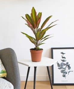 Cordyline kiwi petit palmier d'intérieur
