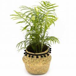 Palmier nain, le chamaedorea est une plante d'intérieur dépolluante