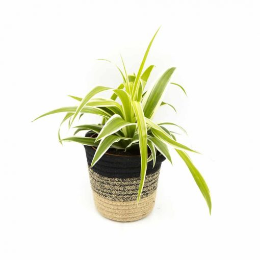 Chlorophytum, plante verte dépolluante