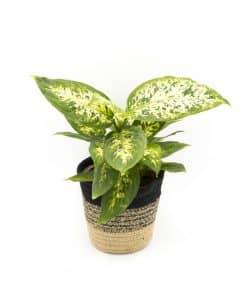 Dieffenbachia, plante verte d'intérieur dépolluante