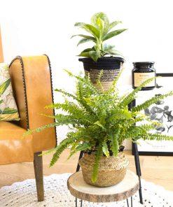 Lot de 2 plantes vertes dépolluantes spéciales bureau