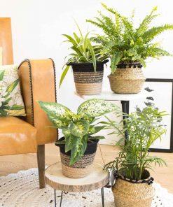 Lot de 4 plantes vertes d'intérieur dépolluantes
