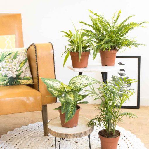 Lot de 4 plantes d'intérieur dépolluantes à placer dans chaque pièce de la maison