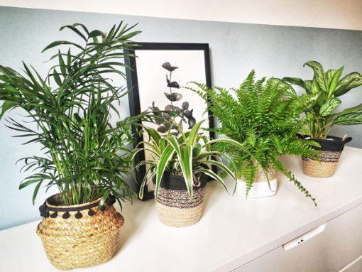 Lot de 4 plantes dépolluantes pour la maison