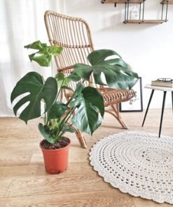 Monstera Deliciosa ou faux philodendron sans son cache pot
