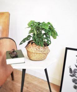 Monstera monkey leaf, plante verte originale pour intérieur