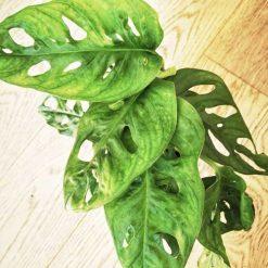 Détail du feuillage de la monstera monkey leaf
