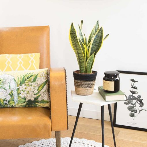 Plante d'intérieur dépolluante et facile d'entretien : la sensevieria