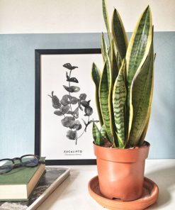 Sensevieria ou plante d'intérieur dépolluante et facile d'entretien.