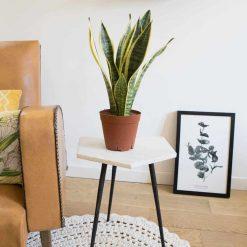 plante verte dépolluante et facile d'entretien pour jardinier débutant.