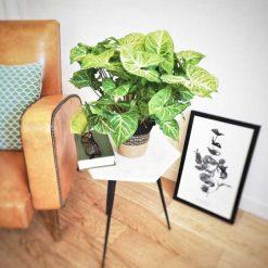 Syngonium, plante d'intérieur dépolluante.
