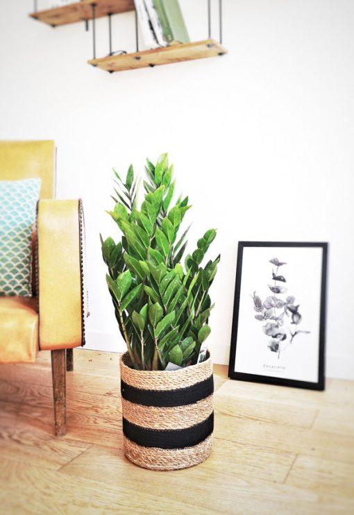 Zamioculas zamiifolia ou plante ZZ