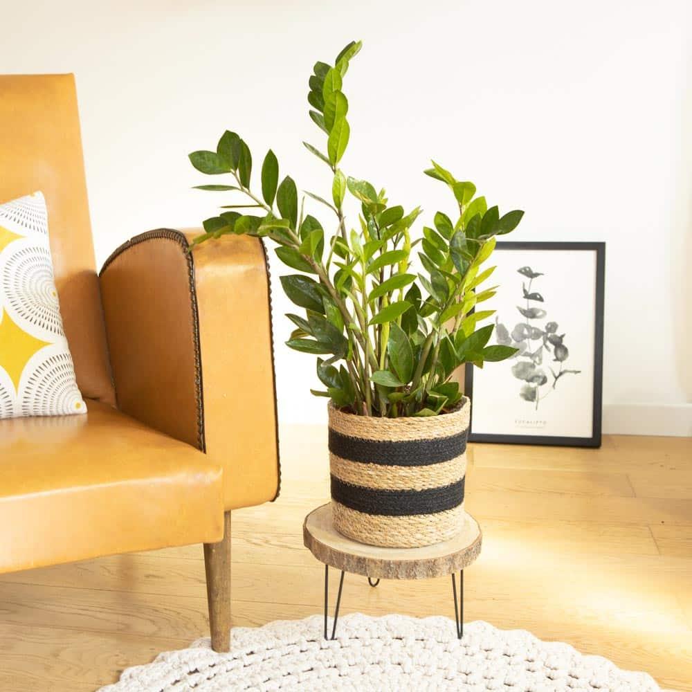 plante zamioculcas zamiifolia