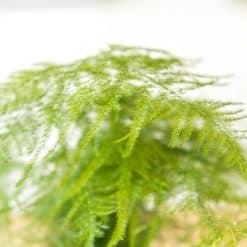 feuille d'aspargus plumosus