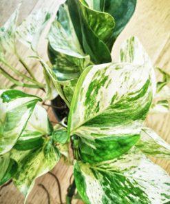 Détail des feuilles du scindapsus ou pothos ou lierre du diable. Feuilles marbré de blanc et de vert.