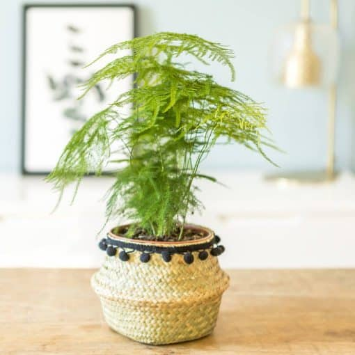 plante aspargus plumosus