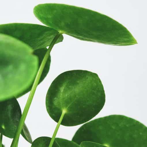 plante monnaie chinoise