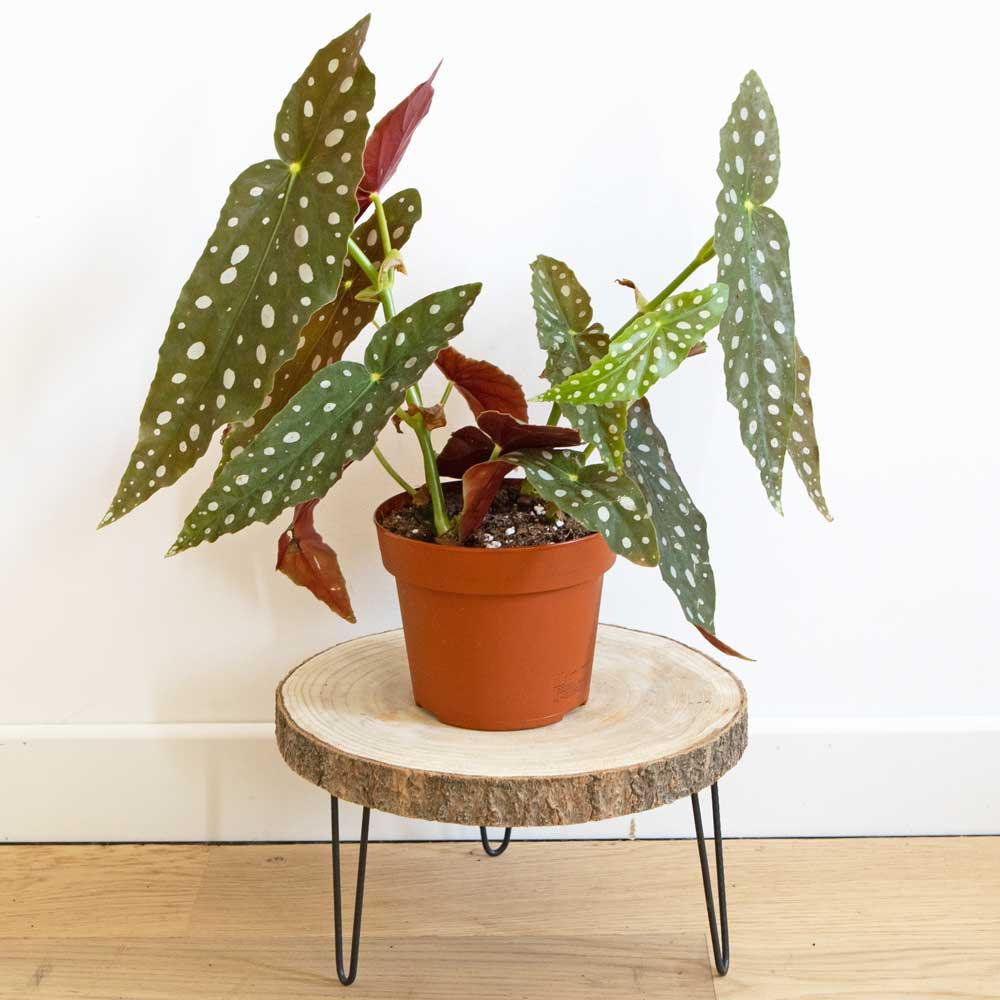 Conseils d'entretien begonia maculata