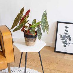 Begonia tamaya ou maculata