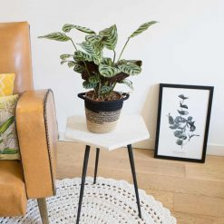 plante d'intérieur originale, calathea amabilis