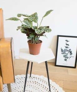 plante verte originale à nervures contrastées. Calathea amabilis