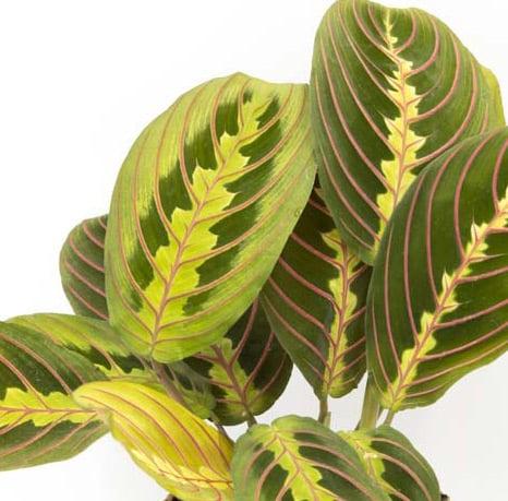 Détail des feuilles de la marenta leuconeura