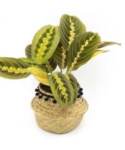 marenta plante d'intérieur tropicale