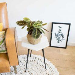 Marenta plante d'intérieur originale