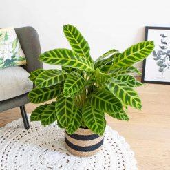 plante zebre calathea