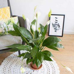 spathiphyllum ou plante fleur de lune