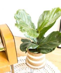 Ficus lyrata ou Figuier lyre
